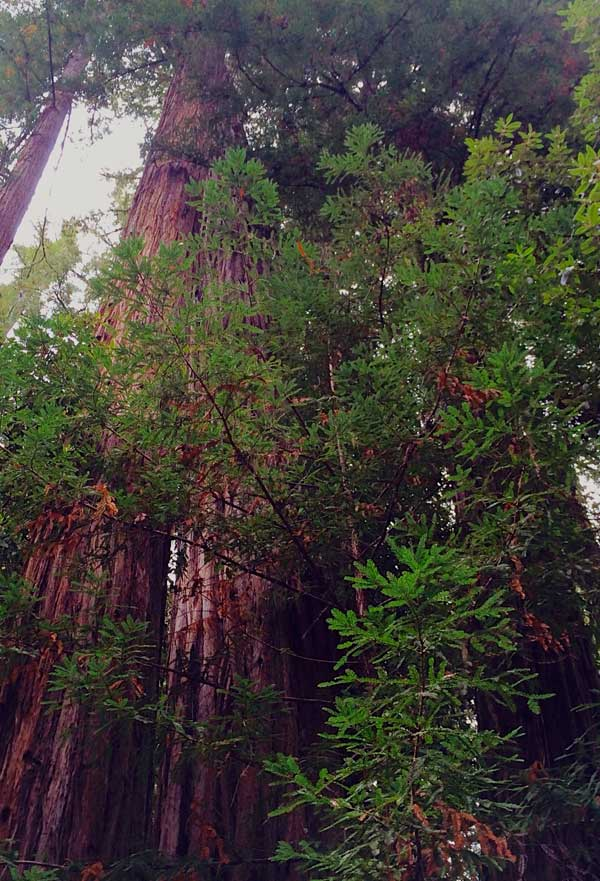Redwoods, nature's antennas, vital to our spirit