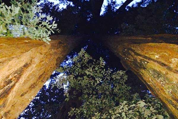 redwoods-looking-up