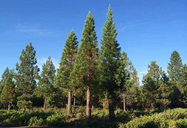 mount-shasta-trees.trinity