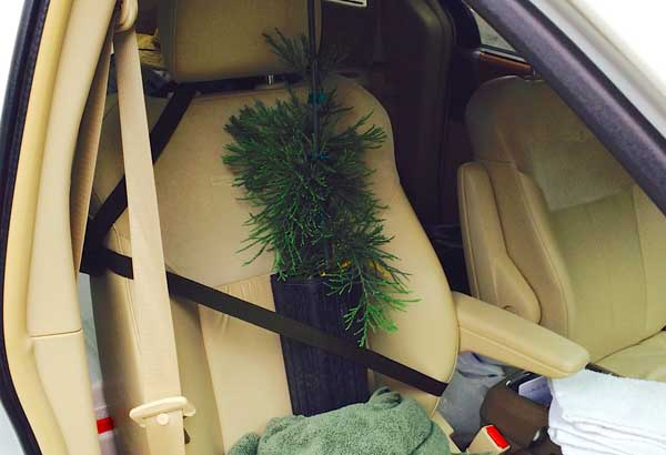 young-sequoia-tree-in-seatbelt
