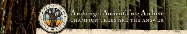 archangel-ancient-tree-archive-header