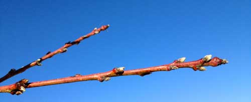 winter-spring-peachtree-buds